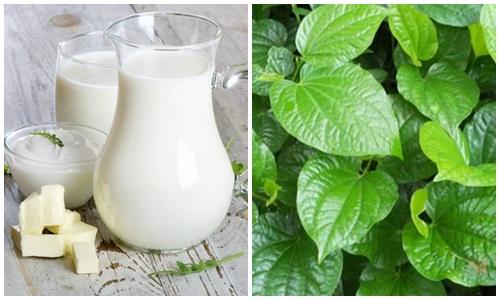 Chữa thoái hóa cột sống bằng lá lốt và sữa bò tươi